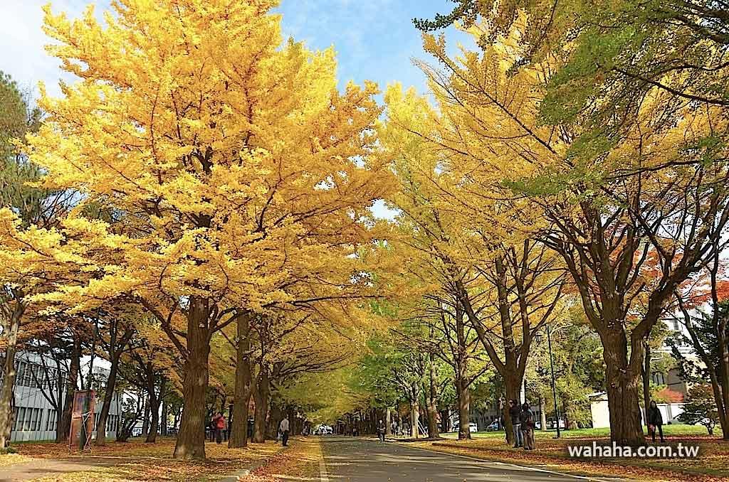 東奔西走北海道:如夢似幻的北海道大學銀杏並木