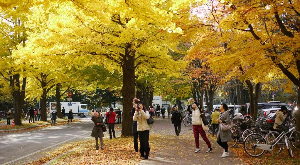 北海道大學秋景色:銀杏並木黃葉(2011)