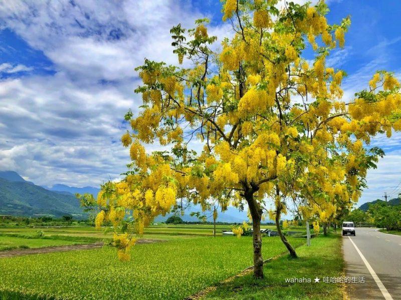 2020花東旅行 –  花蓮193縣道阿勃勒 – 金黃色的田園道路